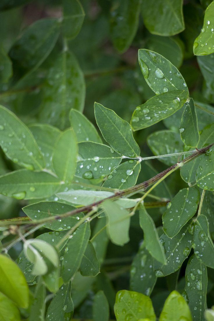 雨を受ける葉っぱ
