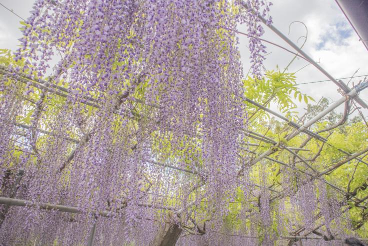 岩田神社の孔雀藤7