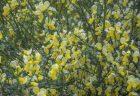 レモン色のエニシダ