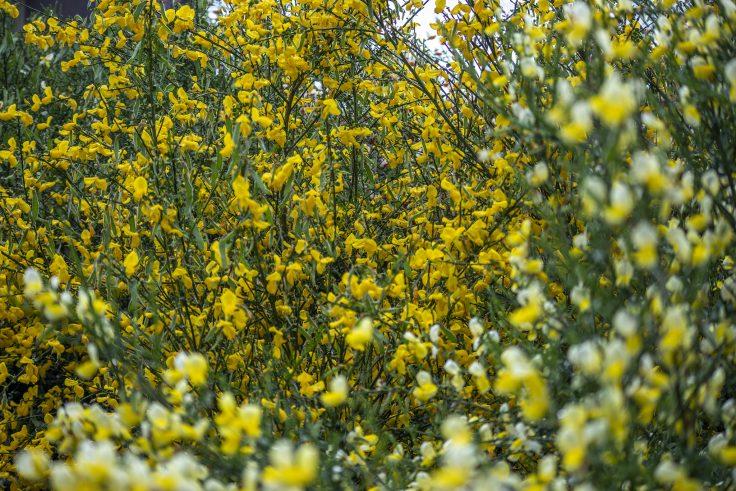 黄色のエニシダ