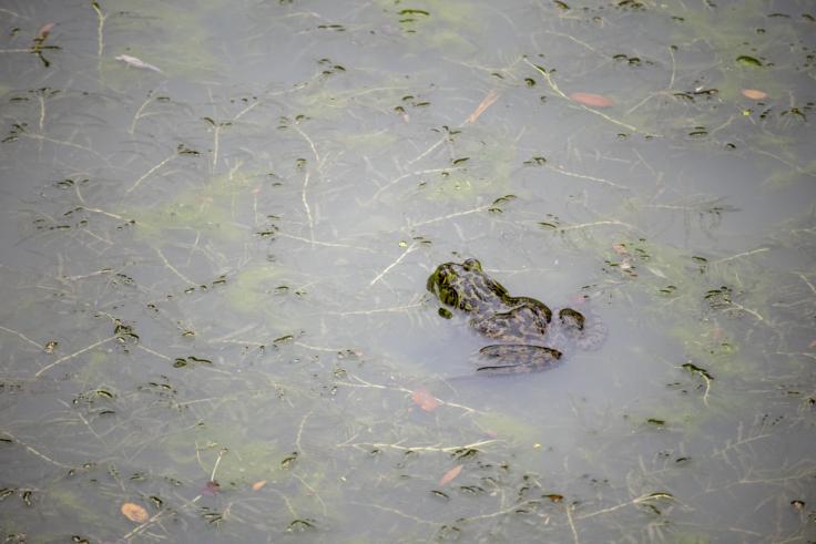 栗林公園のカエル