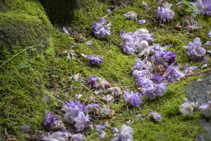 栗林公園の散った藤