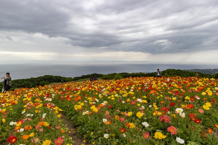 花さじきのアイスランドポピー2