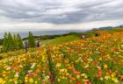 花さじきのアイスランドポピー3