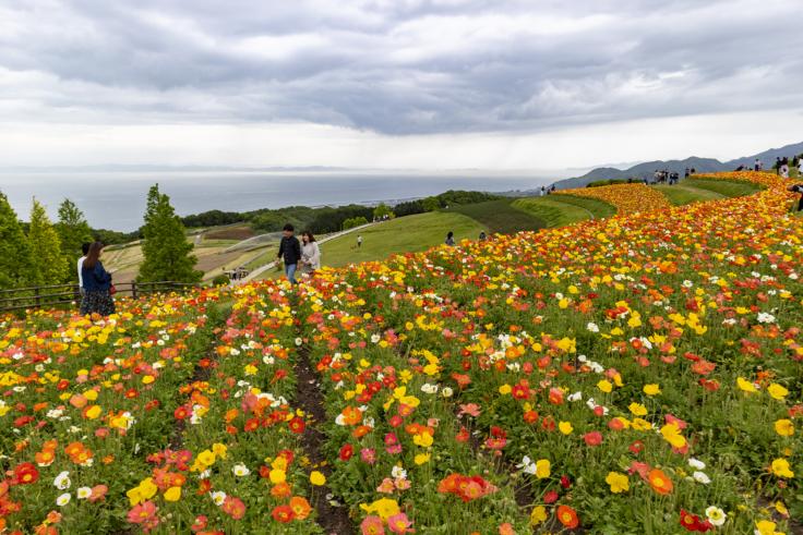 花さじきのアイスランドポピー5