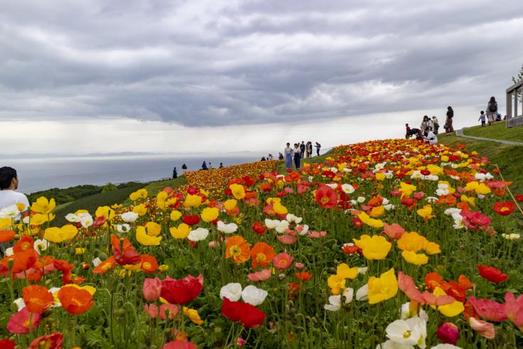 花さじきのアイスランドポピー6