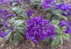 明石海峡公園の花6