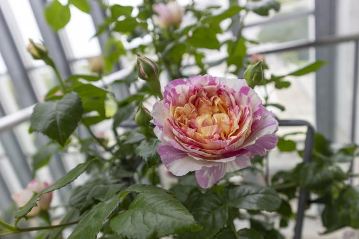 奇跡の星の植物館のバラ