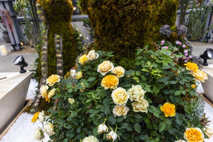 奇跡の星の植物館黄色のバラ