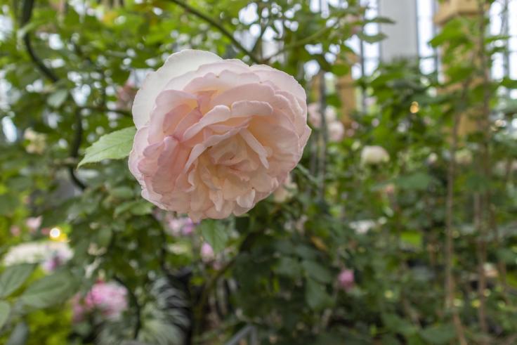 奇跡の星の植物館メインコーナーのバラ