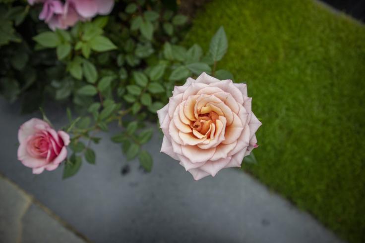 奇跡の星の植物館バラ