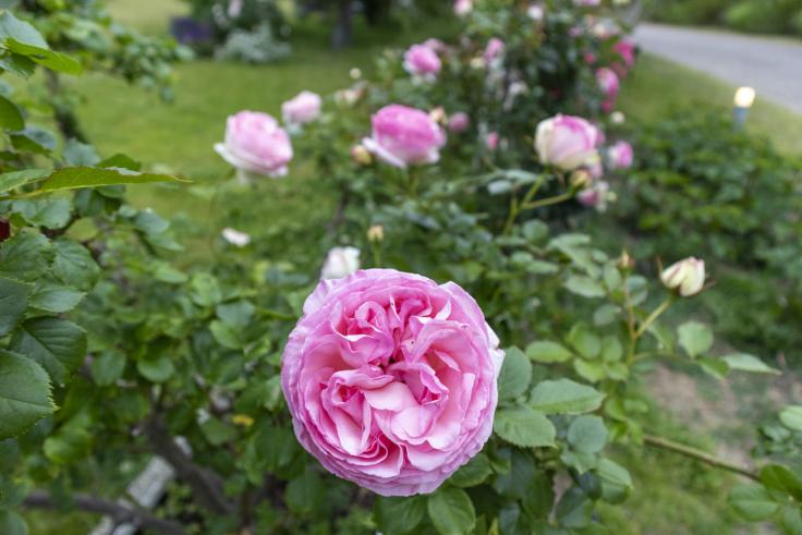 夢舞台のバラ2