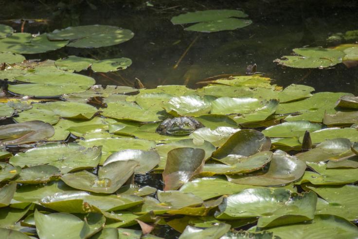 栗林公園のウシガエル