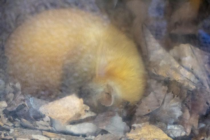 旭山動物園のエゾクロテン