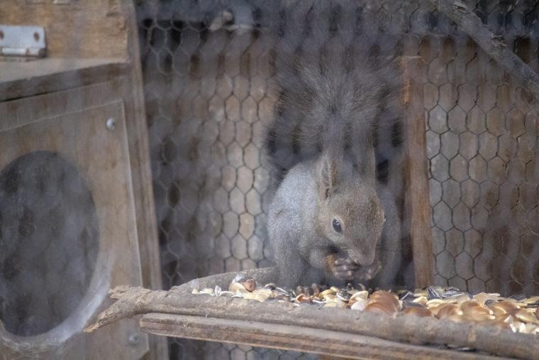 旭山動物園のエゾリス