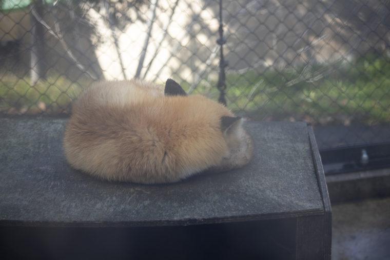 旭山動物園のエゾキツネ
