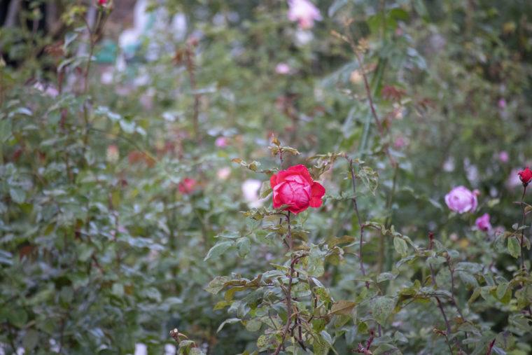 白い恋人パークの赤いバラ