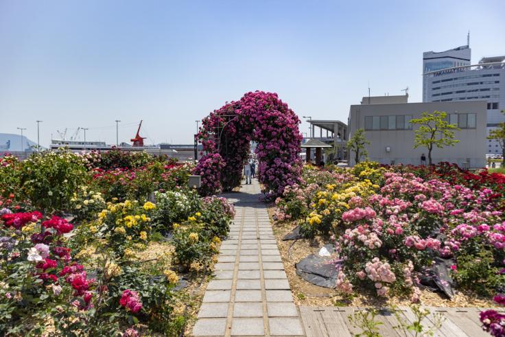 高松港のバラ
