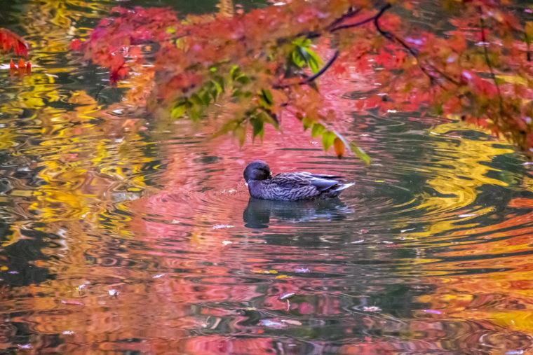 群鴨池の紅葉と鴨