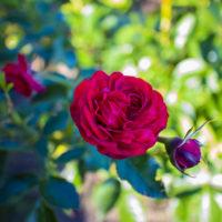 仏生山公園のバラ