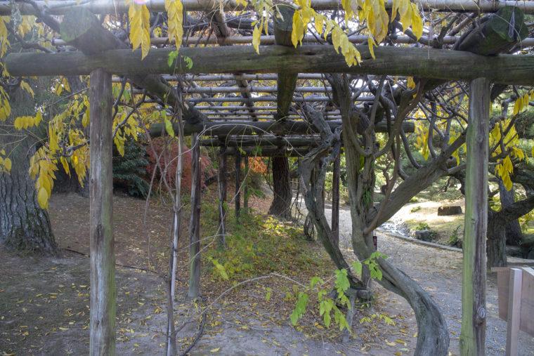 栗林公園のノダフジの標本木