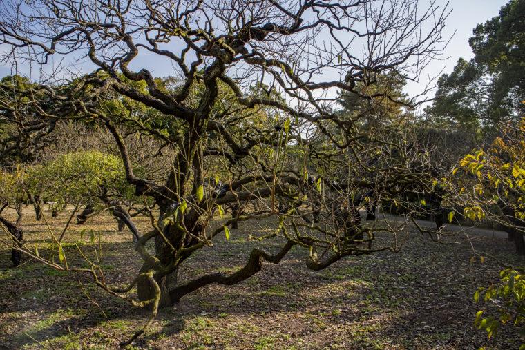 香川県の梅の開花標本木