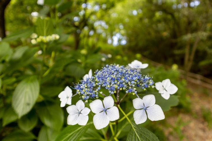 四国村の紫陽花