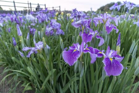 亀鶴公園の紫の花しょうぶ