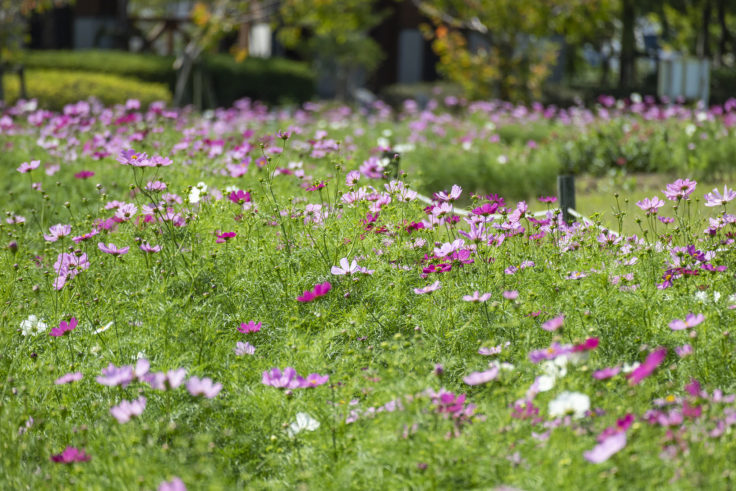ウチノ海総合公園のコスモス