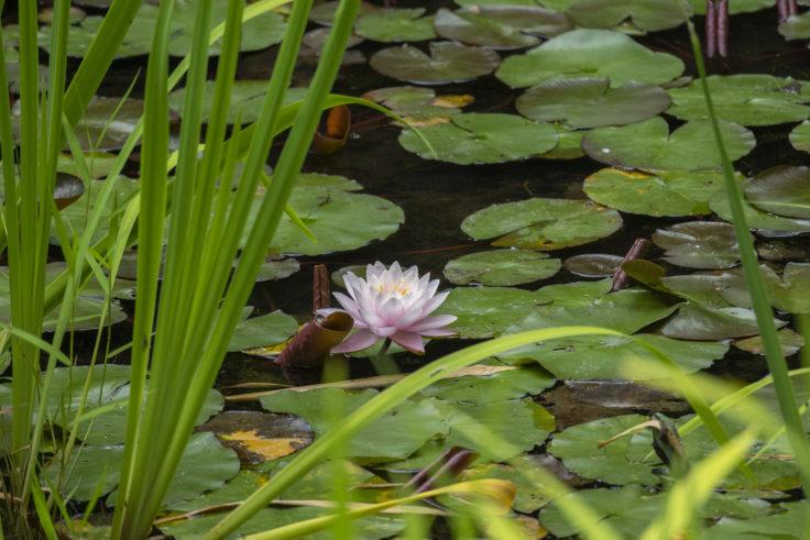 南禅院庭園のスイレン