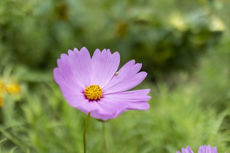 ウチノ海総合公園の夏に咲くコスモス