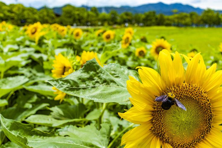 ウチノ海総合公園のヒマワリとクマバチ