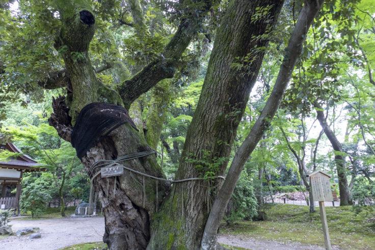 上賀茂神社渉渓園花睦の木