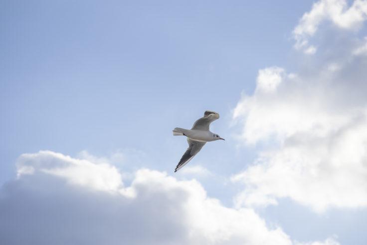 池に飛ぶカモメ2