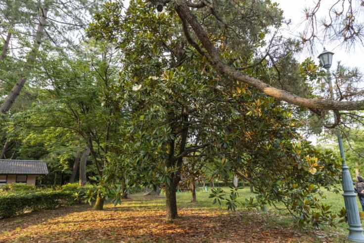 京都御苑のタイサンボク