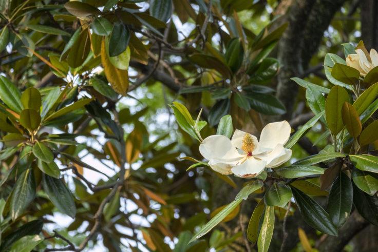 京都御苑のタイサンボクの花