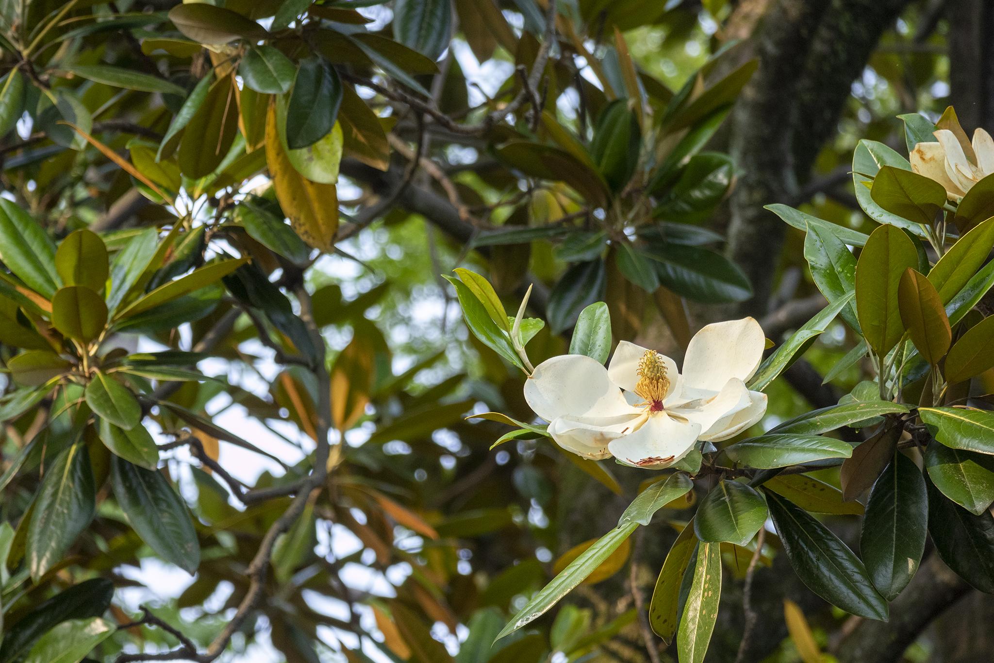 京都御苑に咲くタイサンボク