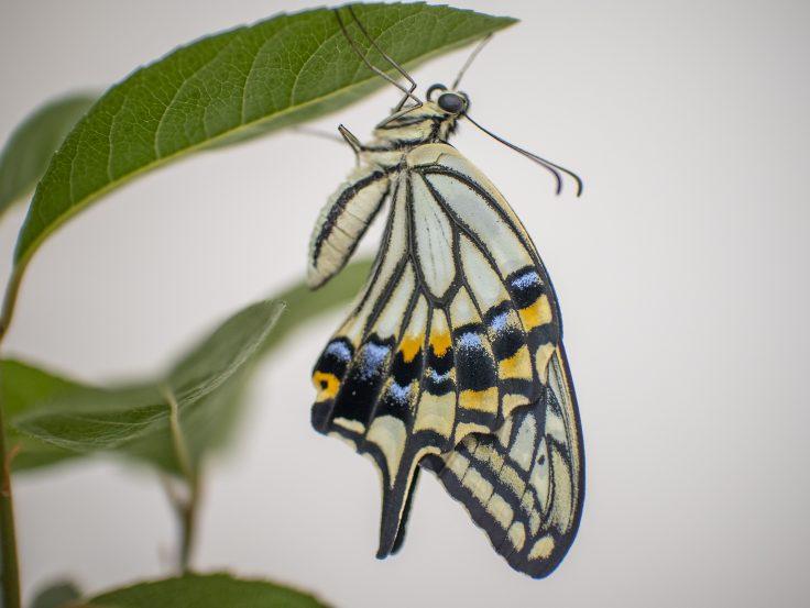 羽化したアゲハチョウ