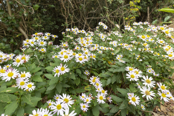 御殿山登山道の白い菊