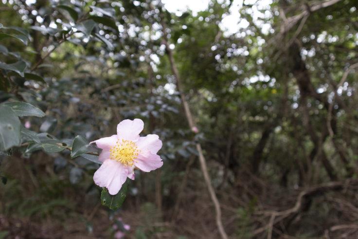 御殿山の山茶花