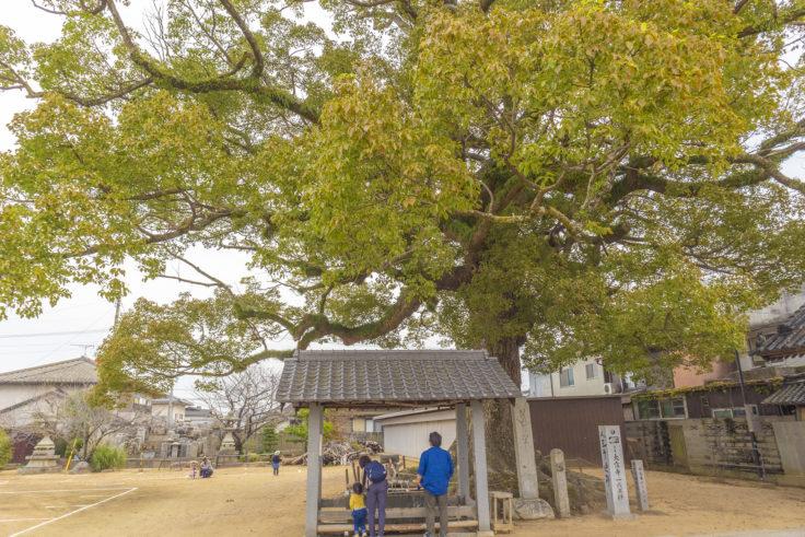 香川の保存木長尾寺のクスノキ