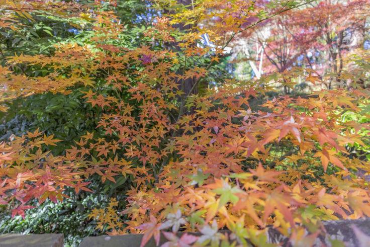 白峯寺の紅葉4