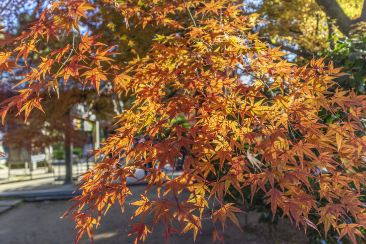 白峯寺の紅葉11