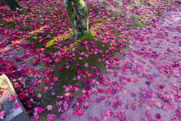 根香寺の紅葉落ち葉3
