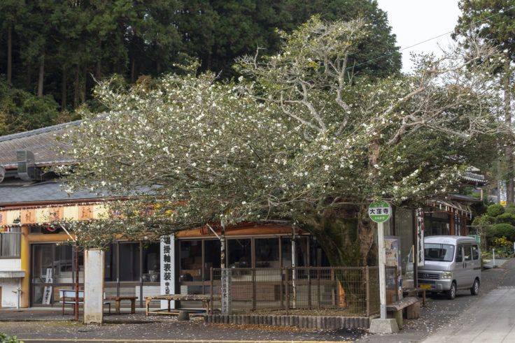 大窪寺のサザンカ2
