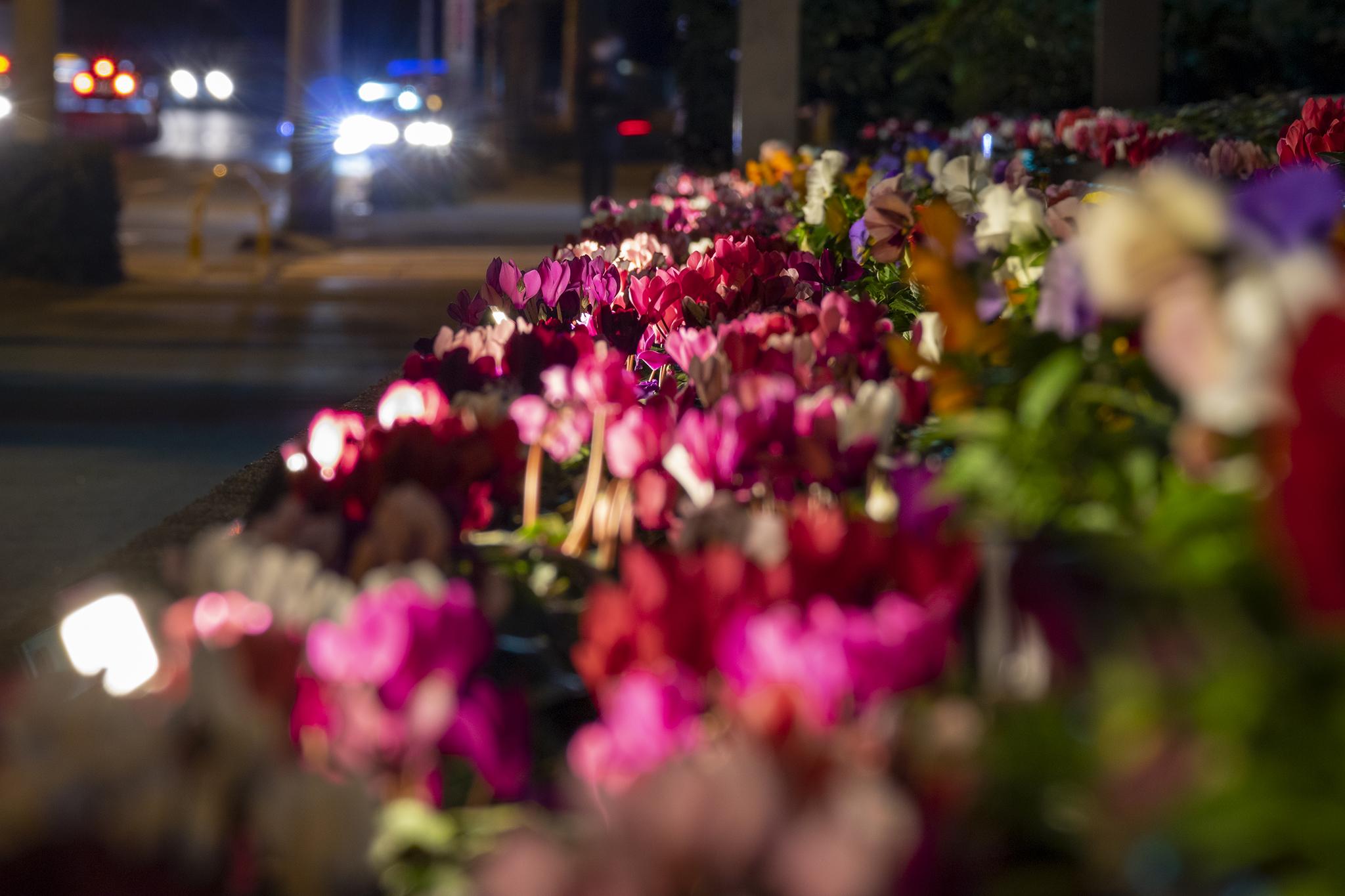 夜に咲くシクラメンの群生