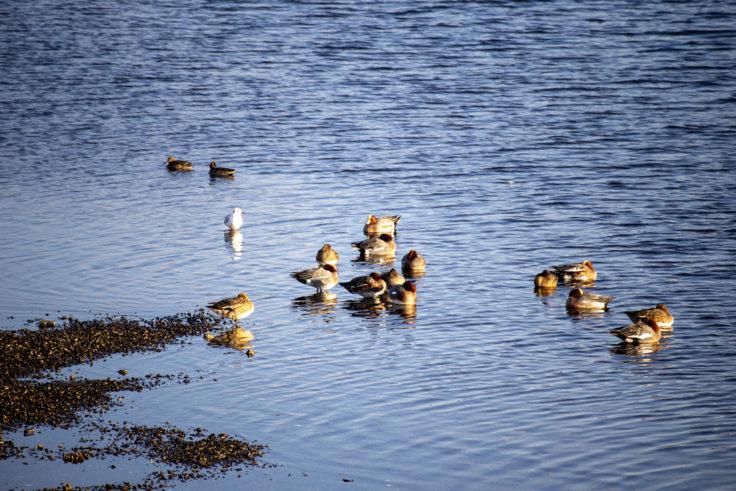 引田港の鴨