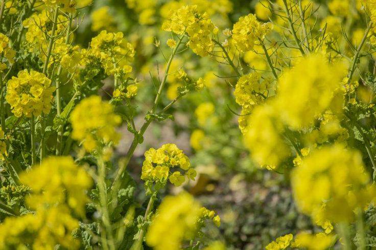ウチノ海総合公園の菜の花3