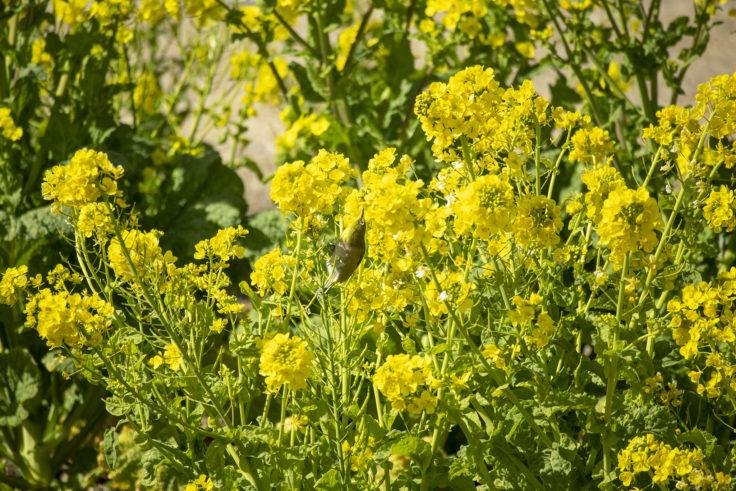 ウチノ海総合公園の菜の花とメジロ