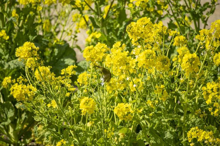 ウチノ海総合公園の菜の花とメジロ2